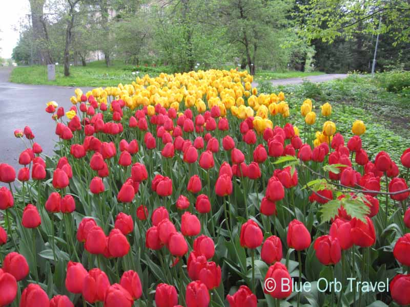 Red and Yellow Tulips in Helsinki, Finland