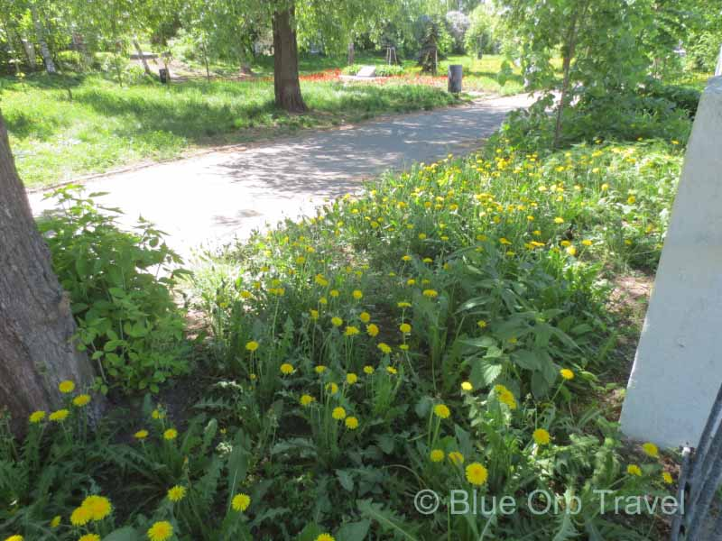 Garden of Dandelions